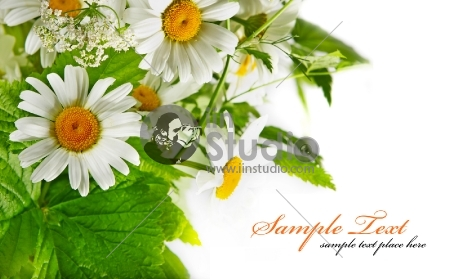 Daisy flowers in white background