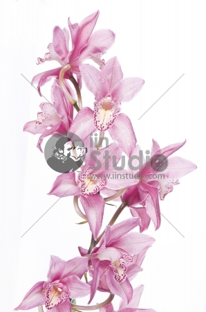 Beautiful pink orchid isolated over white background