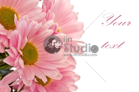 Beautiful pink chrysanthemums on white background