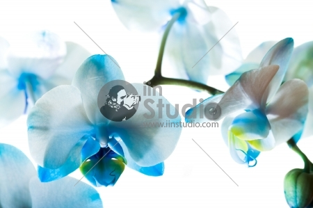 Pleasant blue orchid