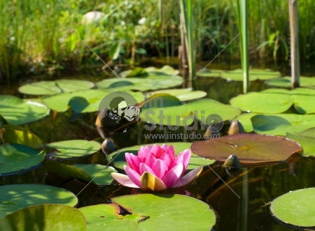 Beautiful water lily, lotus