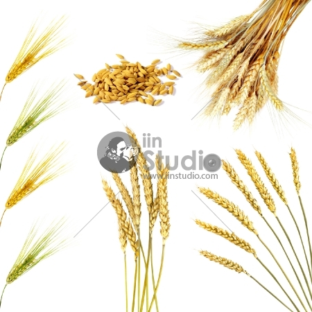 Set of golden wheat ears isolated on white background