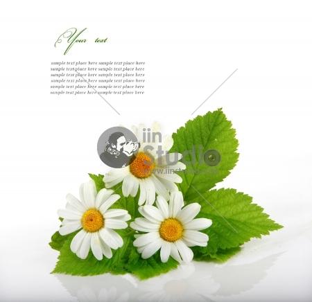 Daisy flowers with a peacefull look