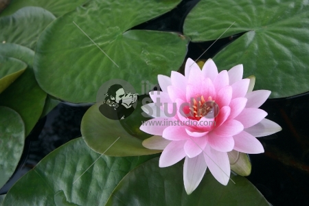 water lily with lotus leaf on pond