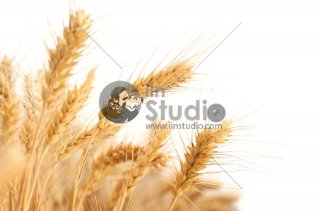 Wheat ears isolated on a plain white background