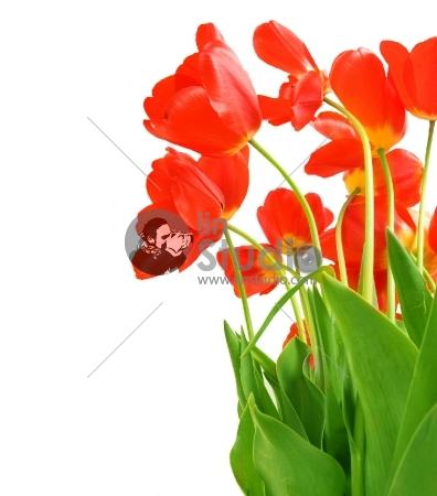 Tulips Over White