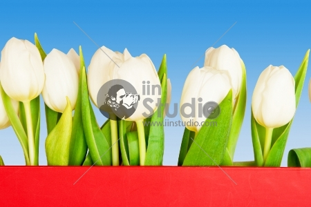 beautiful tulips on blue, red