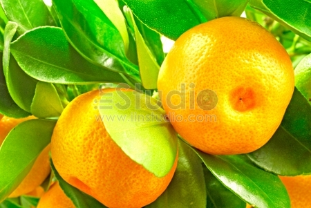 Two mandarins on the branch with leaves