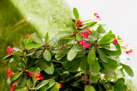 Meadow plant background- red little flowers