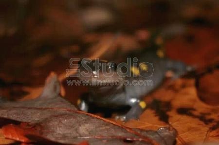 Spotted salamandet
