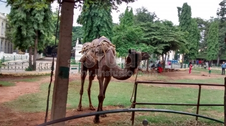 Domestic camel in a animal park