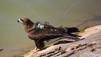 Black Kite Lalbagh