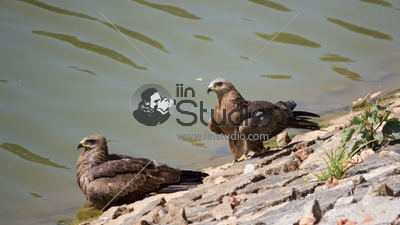 Black Kite Lalbagh
