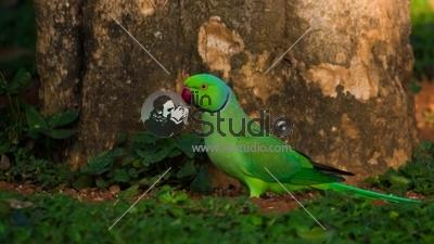 ParakeetLalbagh1