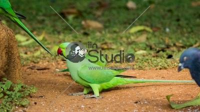 ParakeetLalbagh6