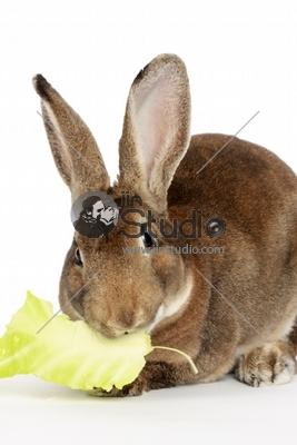 Rabbit eats leaf