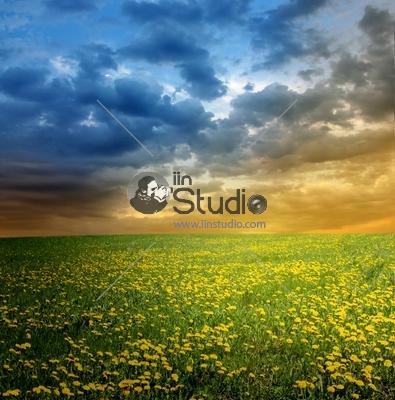 Sunset on dandelions field